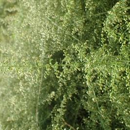 カワラヨモギ